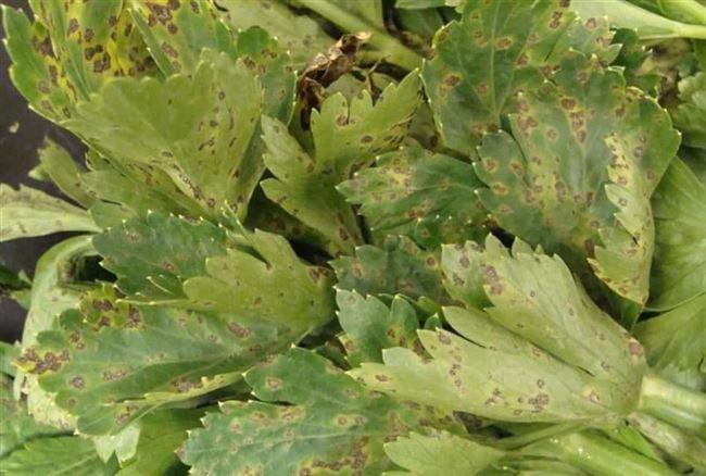 Как бороться с вредителями и болезнями сельдерея