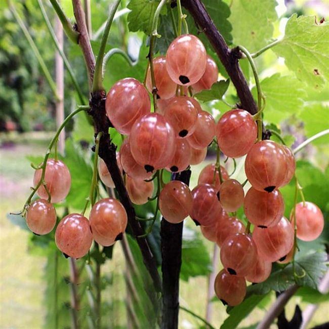 Размножение розовой смородины семенами