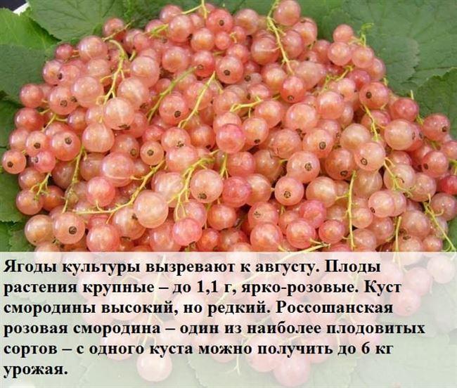 Агротехника посадки розовой смородины
