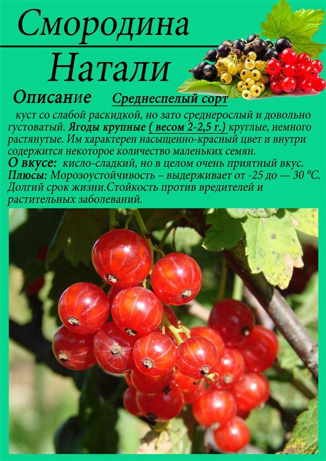 Описание сорта красной смородины Натали