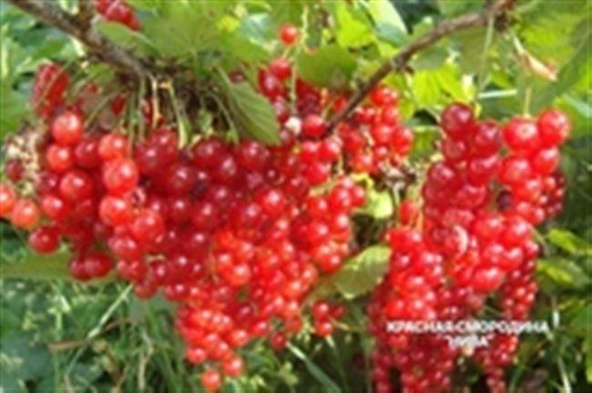 Описание сорта красной смородины Нива