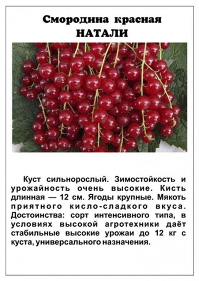 Самые лучшие сорта красной смородины - сладкие, крупные, для Подмосковья, Сибири, Урала, средней полосы, Ленинградской области, отзывы о лучших сортах