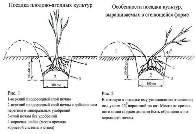 Как сажать с закрытой корневой системой
