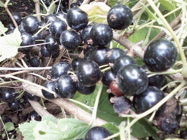 Дальнейший уход за сортом черной смородины Пигмей