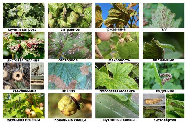 Болезни и вредители смородины, симптомы и признаки, способы борьбы и устойчивые к заболеваниям сорта этой ягодной культуры