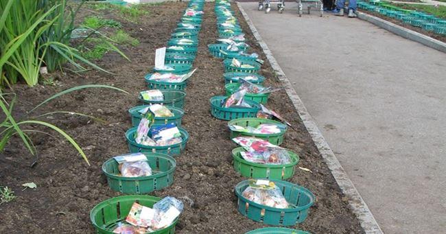 Сроки осенней посадки тюльпанов в грунт