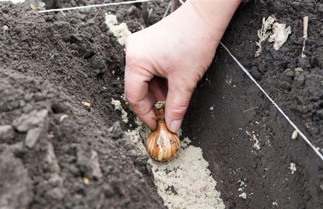 Выбор участка для посадки тюльпанов