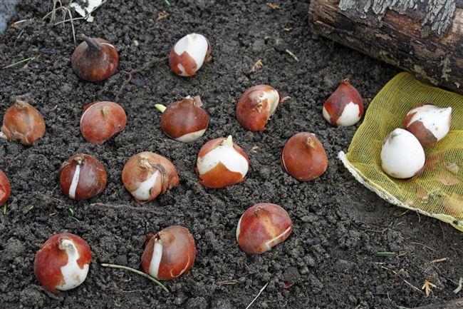 Как посадить тюльпаны в открытый грунт осенью. Основные правила посадки и подготовка луковиц