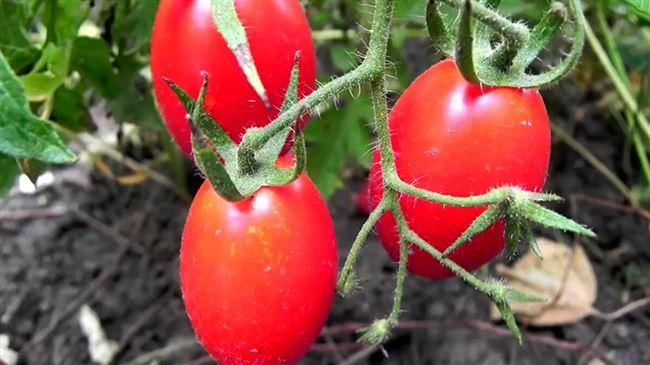 Видео: редчайший способ полива томатов
