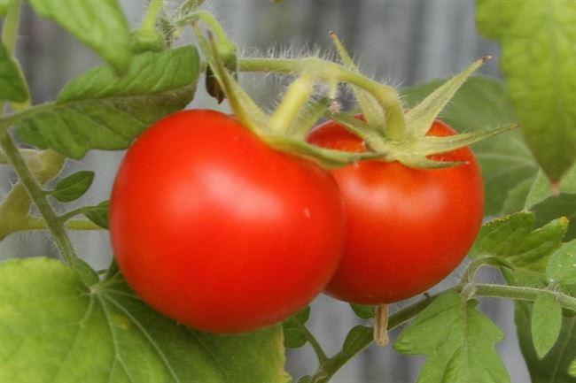 Хранение и использование томатов сорта Агата