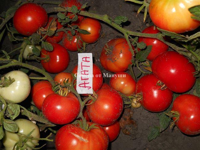 Описание и характеристика томата Агата, отзывы, фото