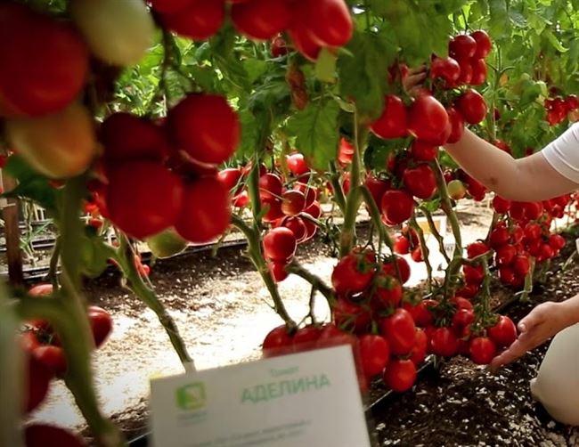 Особенности выращивания помидоров Аделина, посадка и уход