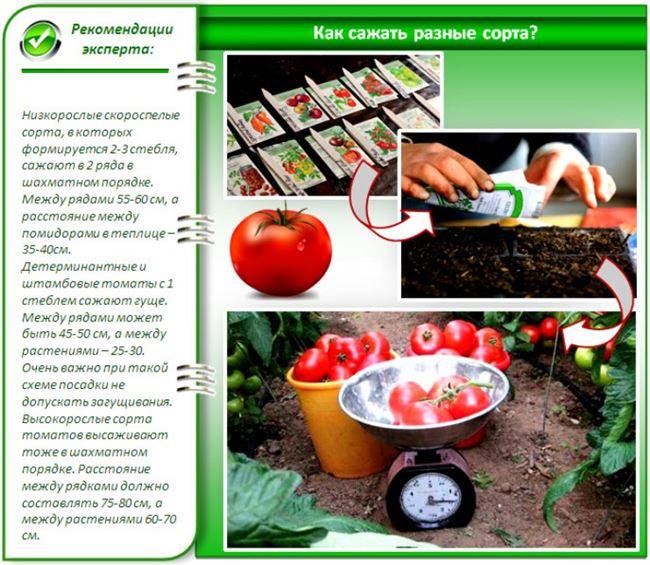 Получение рассады и уход за помидорами