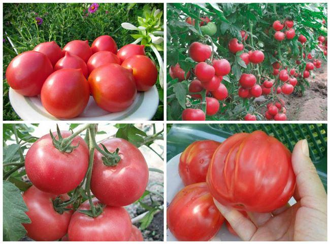 Какие сорта помидоров подходят для Ростовской области