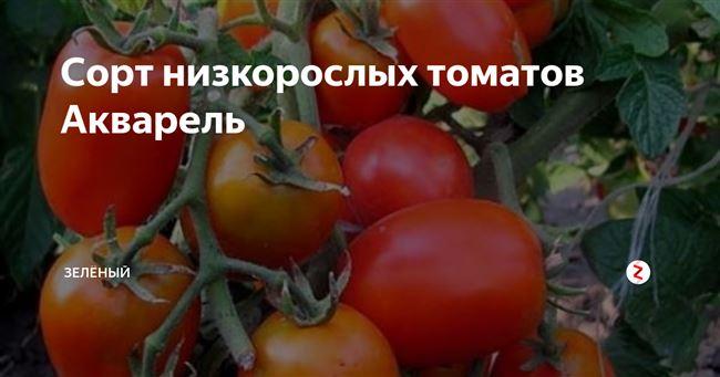 Описание и характеристика томата Акварель, отзывы, фото