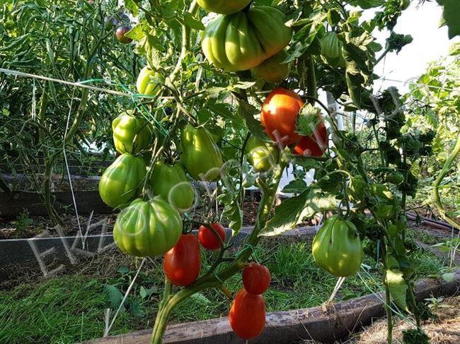 Плюсы томата