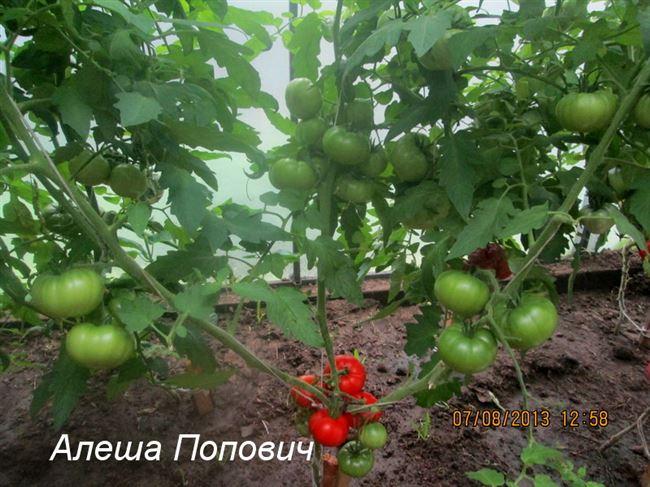 Урожайность томата Алеша Попович и плодоношение