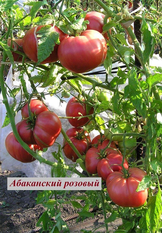 Описание и характеристика сорта томата Алтайский розовый, отзывы, фото
