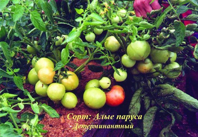 Описание индетерминантных томатов Алые паруса и особенности выращивания сорта
