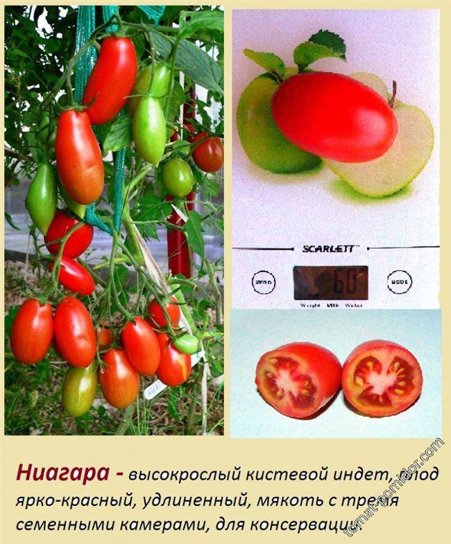 Урожайность томата Ниагара и плодоношение