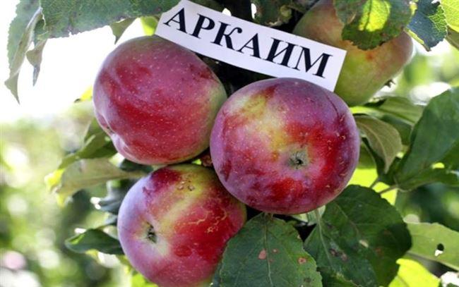 Яблоня аркаим описание фото отзывы
