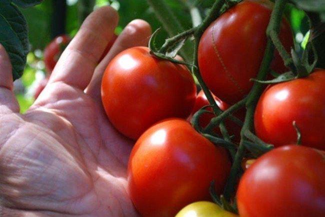 Правильное хранение томатов