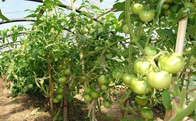 Уход за посадками помидоров