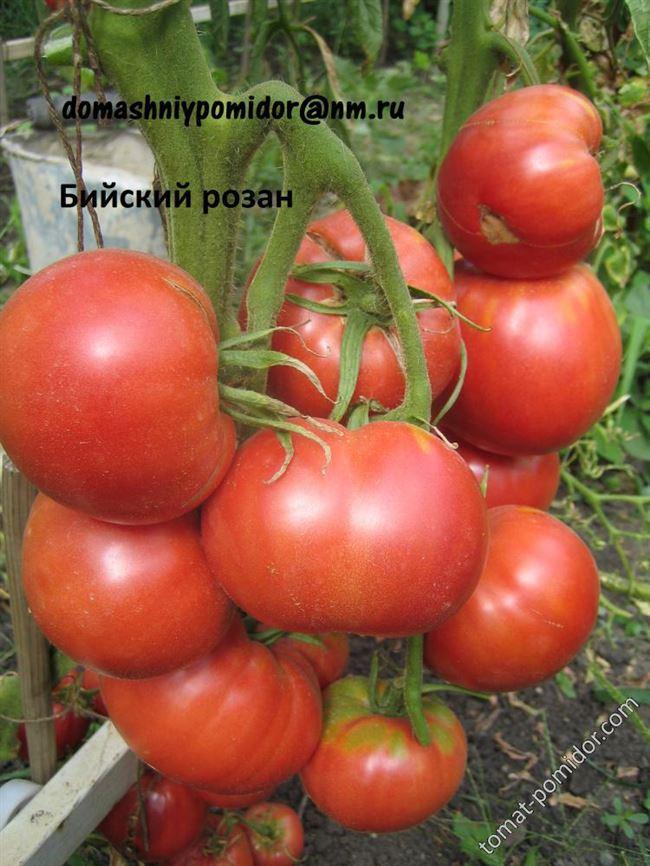Отзывы о томате бийский розан