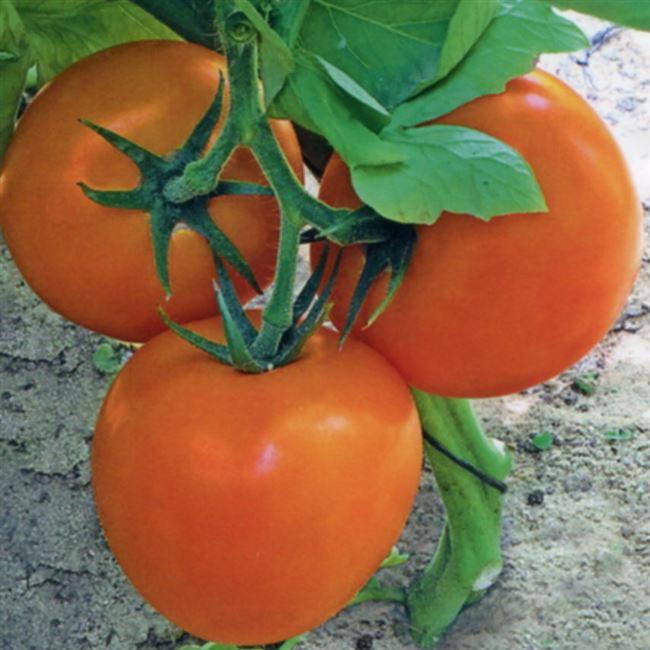Заказать семена томата Бигоранж F2