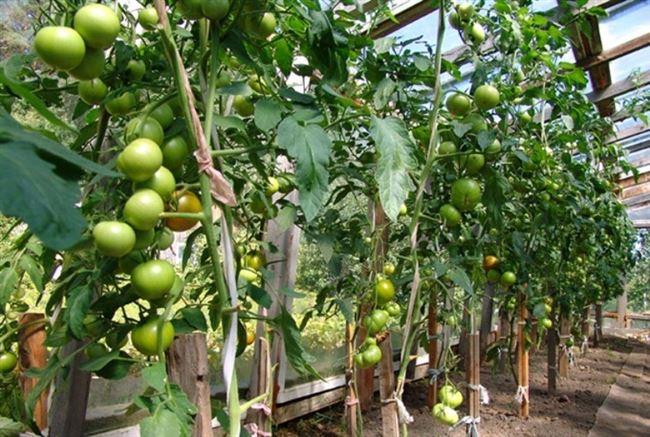 Видео: томат Благовест зреет в теплице