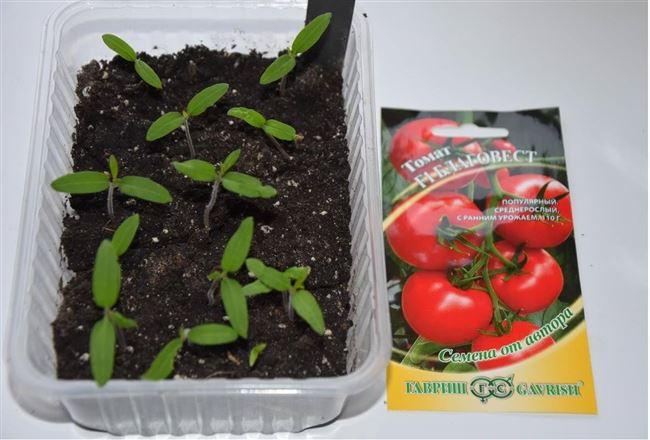 Фото всходов семян томата Благовест