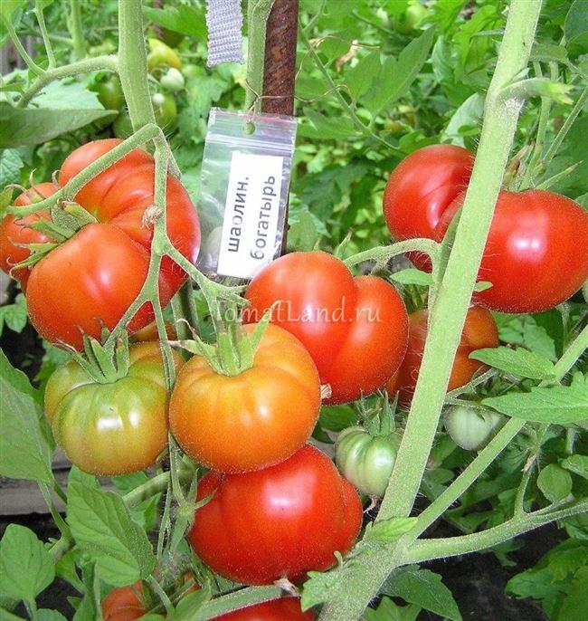 Описание, характеристика, урожайность, отзывы и фото сорта помидора «Русский Богатырь»