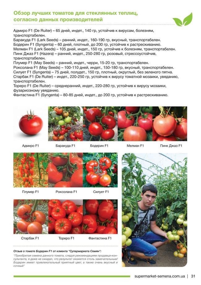 БОДЕРИН F1 гибрид томата Syngenta 500 штук индетерминантный томат для пленочных теплиц