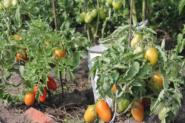 Особенности выращивания томатов Боец, посадка и уход