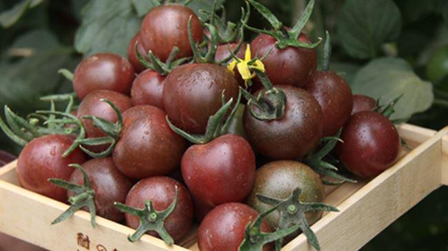 Описание сорта томата Иван-да-Марья, отзывы