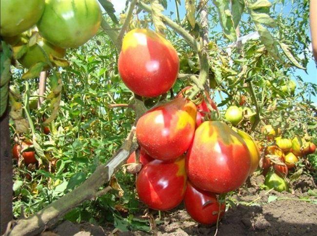 Уход за томатом «Иван Купала»
