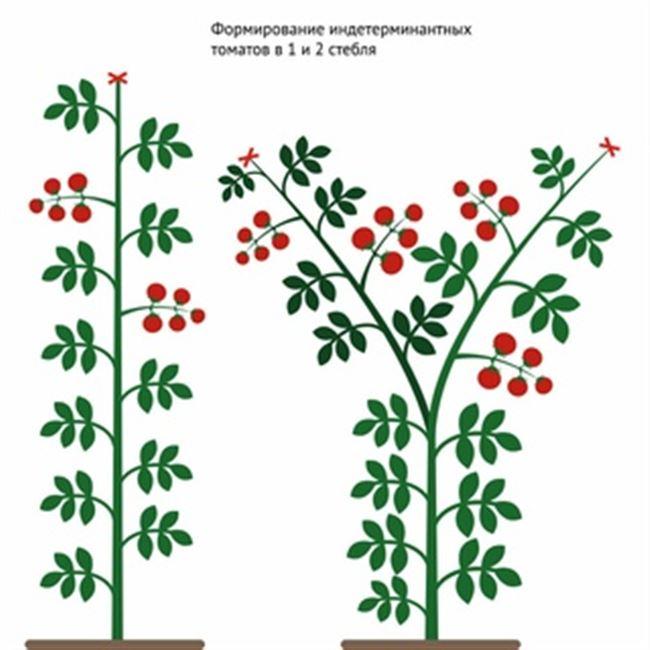 Видео: детерминантные томаты — формирование и уход