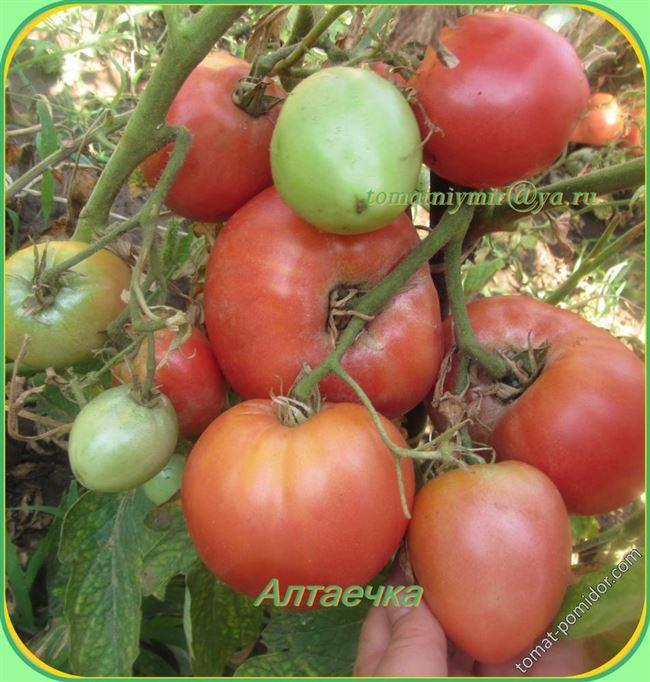 Болезни и вредители высокорослых томатов