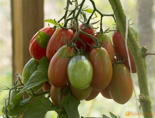 Описание розовых сливок — томатов Изюм