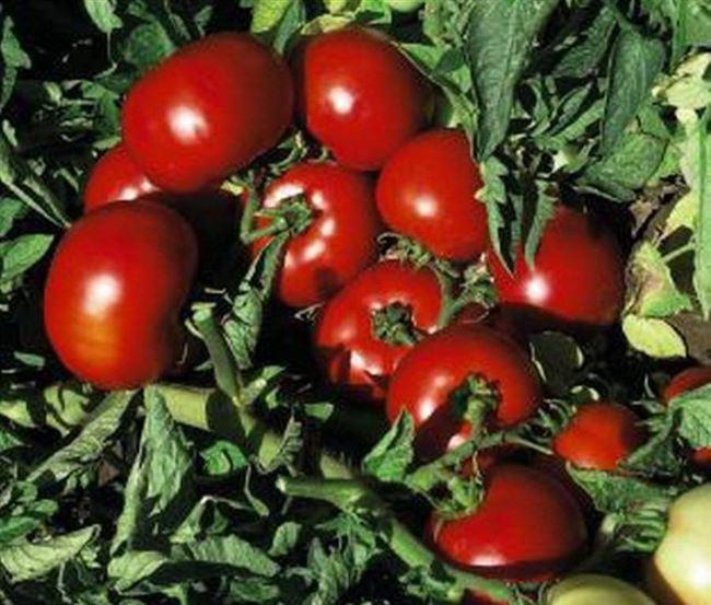 Характеристика помидоров