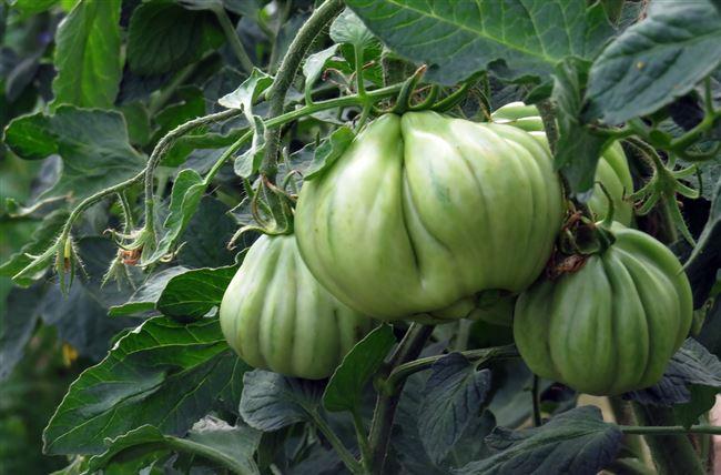 Описание и характеристика сорта томата Инжир розовый