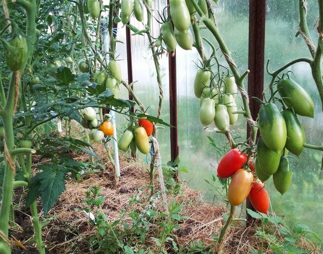Характеристика и описание томатов Царское искушение
