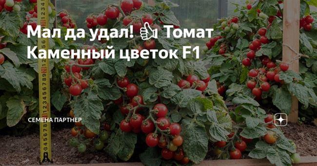 Как выглядят зрелые помидоры новичок