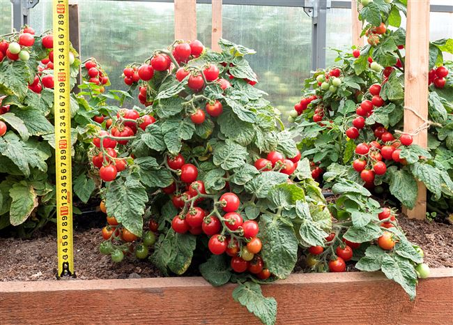 Особенности выращивания томата Каменный цветок, посадка и уход