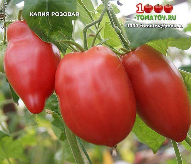 Описание и характеристика томата Капия розовая, отзывы, фото