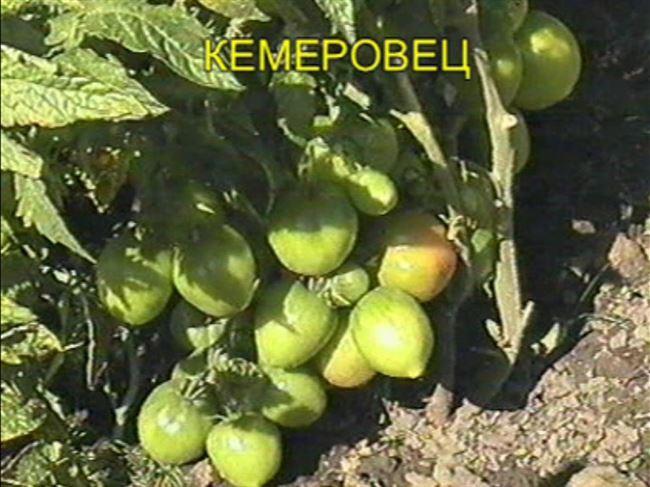 Плюсы и минусы сорта помидоров Кемеровец