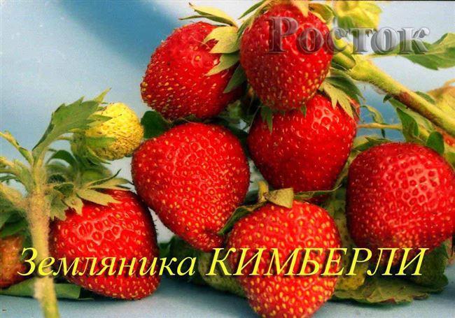 Клубника Кимберли – размножение
