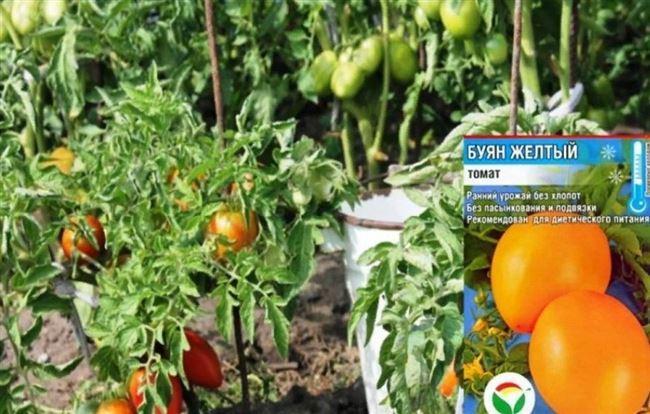 Урожай томатов в открытом грунте, видео