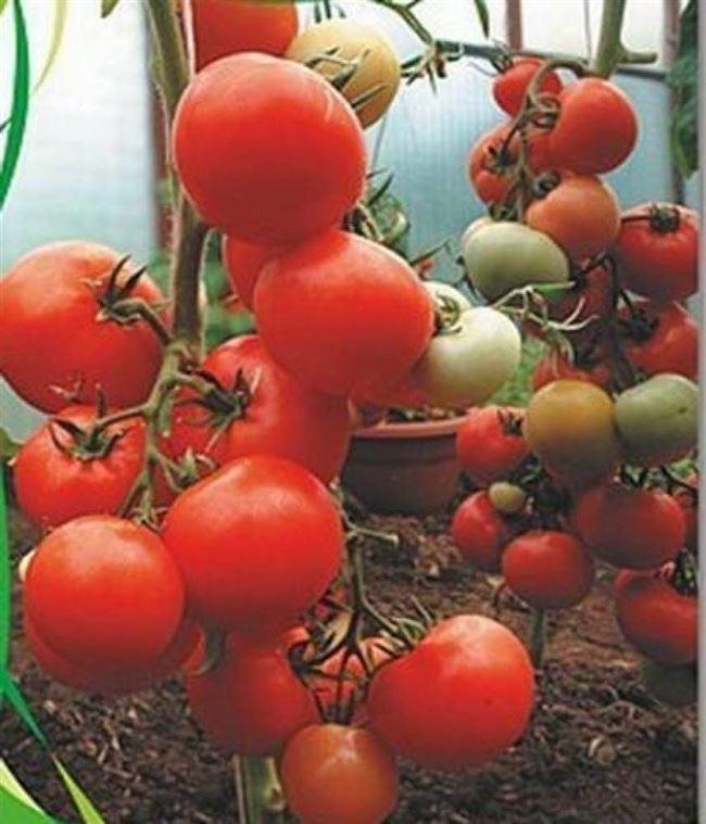 Урожайность томата Киржач и плодоношение