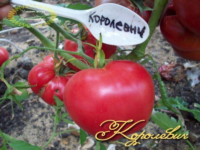 Дальнейший уход за помидором Королевич